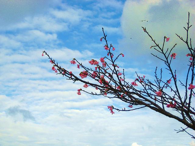 Okinawa Cherry Blossom Season