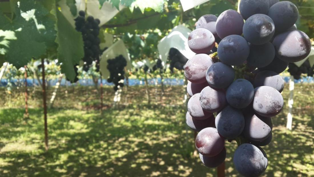 Gapyeong Grape Farm: Make your own jam!
