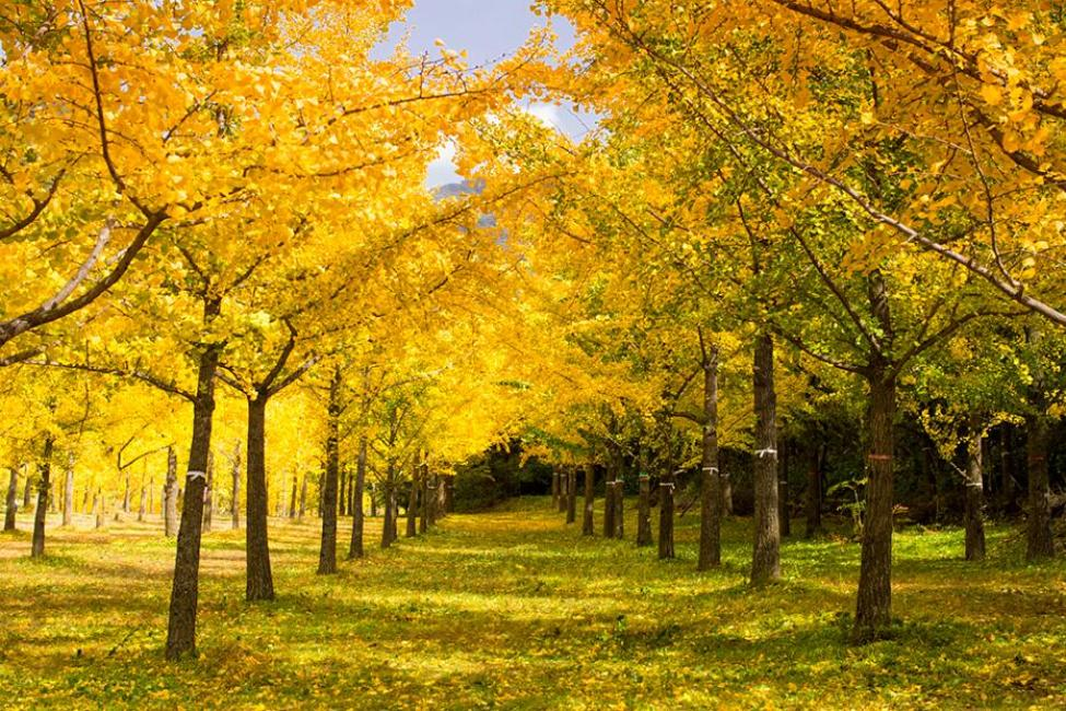 Fall in Korea: Gingko Forest